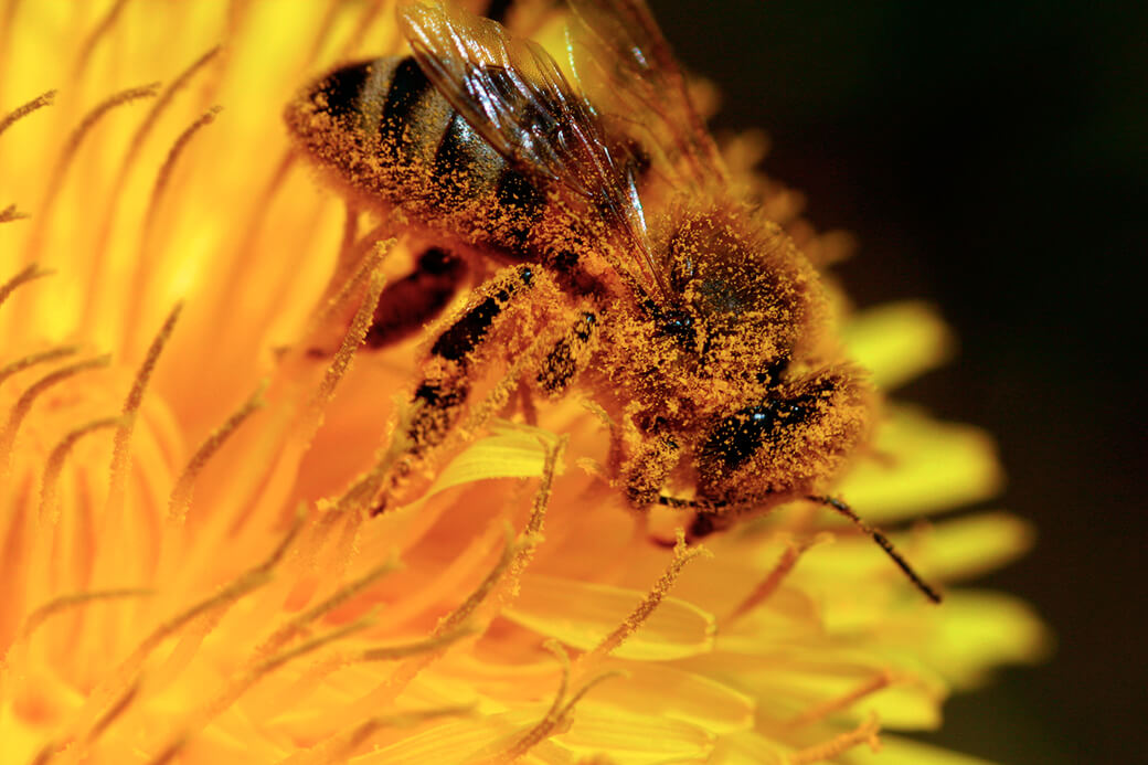 Honningbi i mælkebøtteblomst. Foto: © Maria Gram