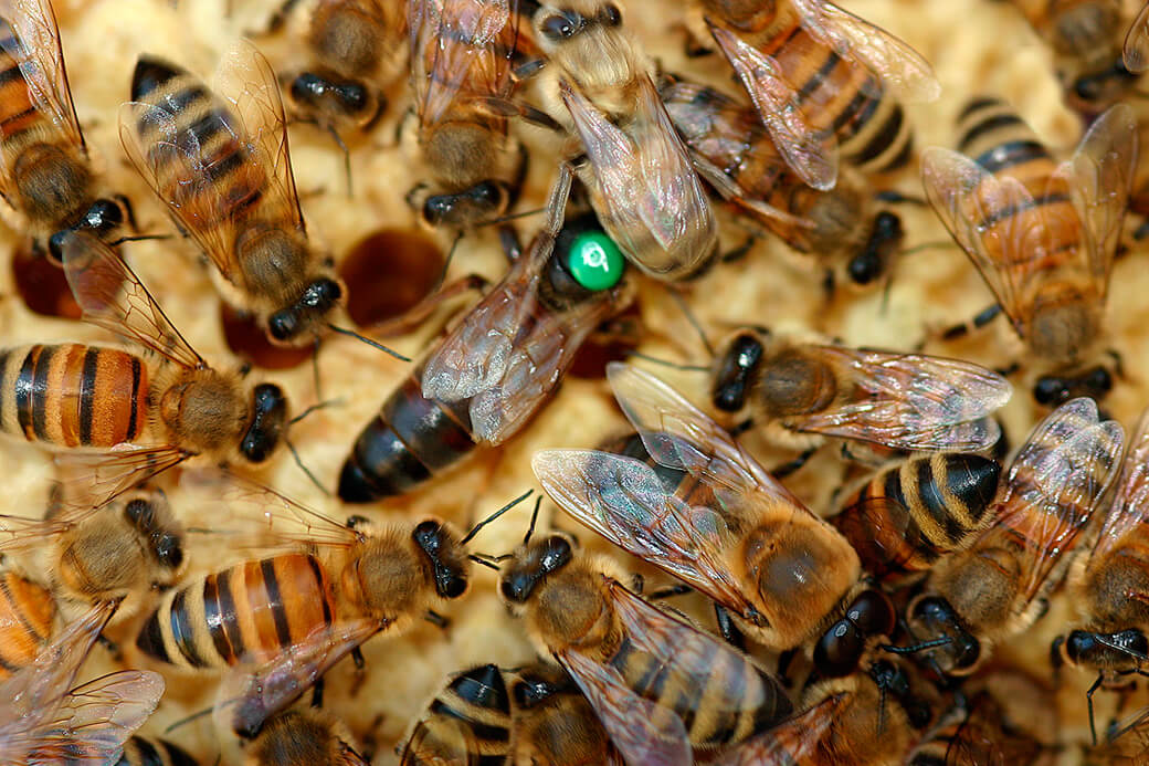 De forskellige kaste i honningbifamilien. Foto: © Maria Gram