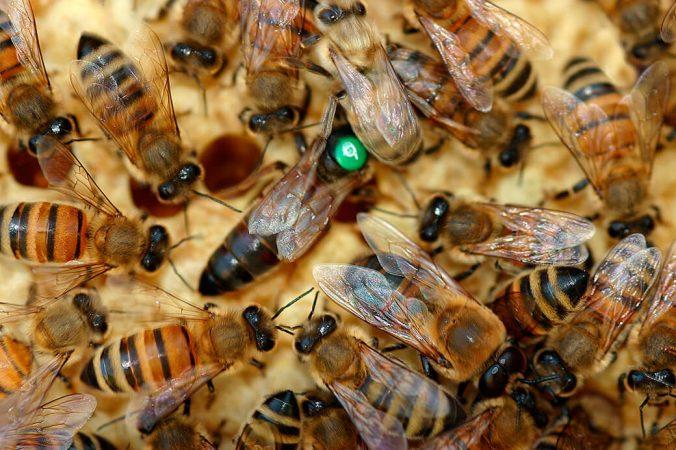 De tre slags bier i honningbifamilien. Foto: © Maria Gram