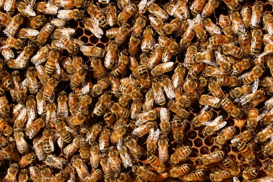 Honningbier. Foto: © Maria Gram
